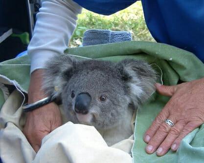 KoalaHos.